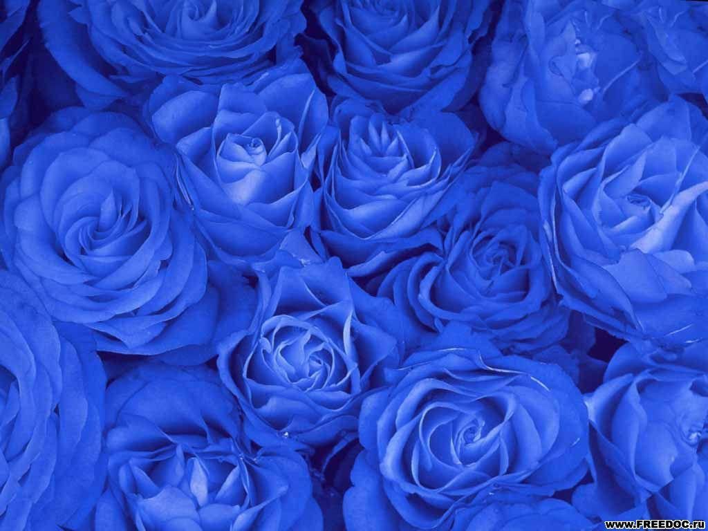 Modré-růže