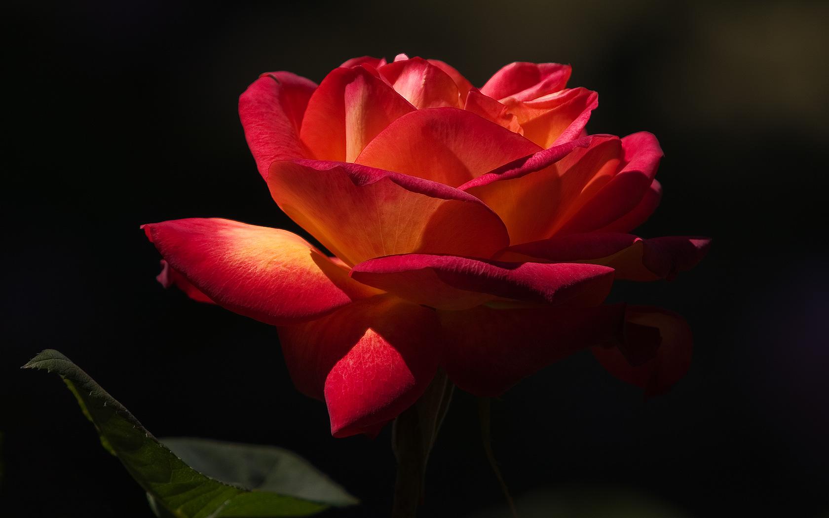 Růže-2