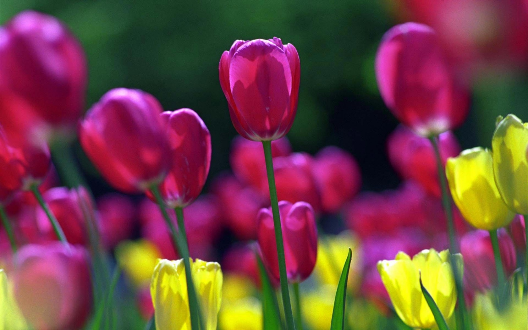http://www.pctapety.cz/images/wallpapers/ws_Spring_tulips_1680x1050-930006.jpeg